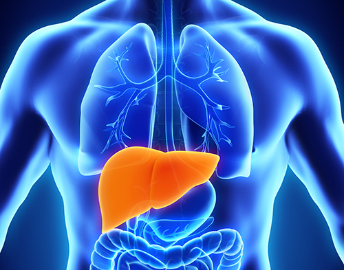science-saturday:-mayo-clinic-scientists-identify-a-new-way-the-liver-cells-break-down-fat
